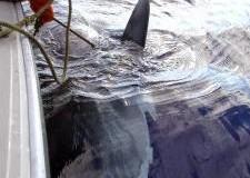 Here a Shark, There a Shark, Everywhere a Shark Shark.