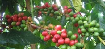 Hawaiian Coffee is Best Home-Grown.