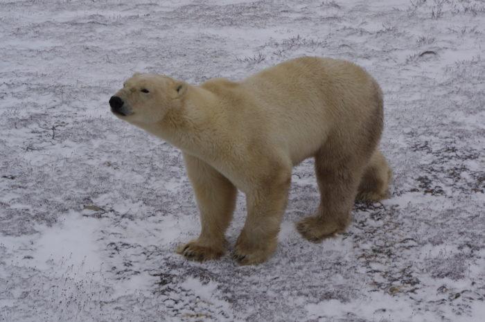 My polar bear