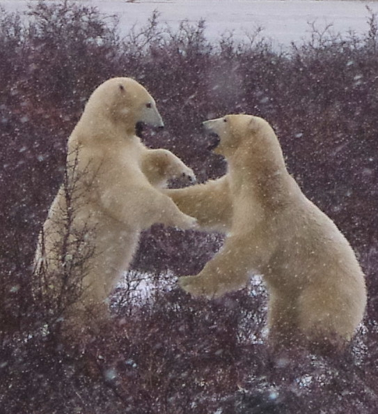 two bears playing