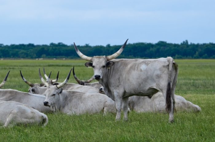 grey-cattle-hortobagy